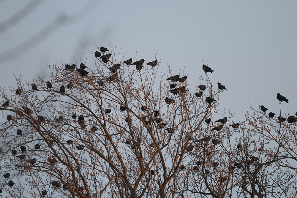 Crow droppings cover downtown